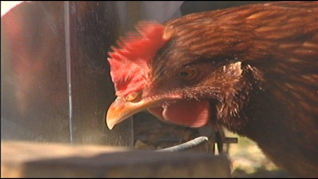 chicken_285218