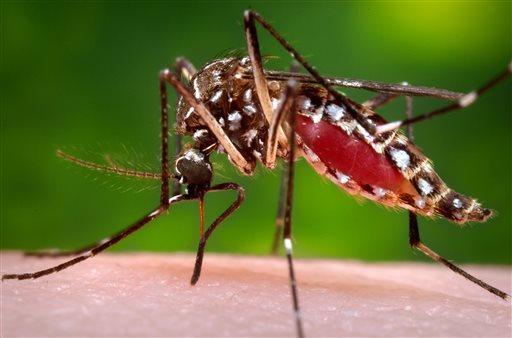 Aedes aegypti mosquito_215206