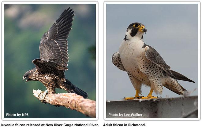 falcon_577369