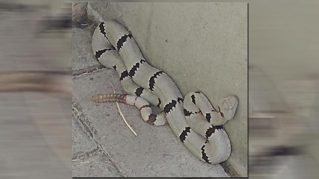 white-snake_1531679910060_48680813_ver1.0_640_360_1531749045593.jpg