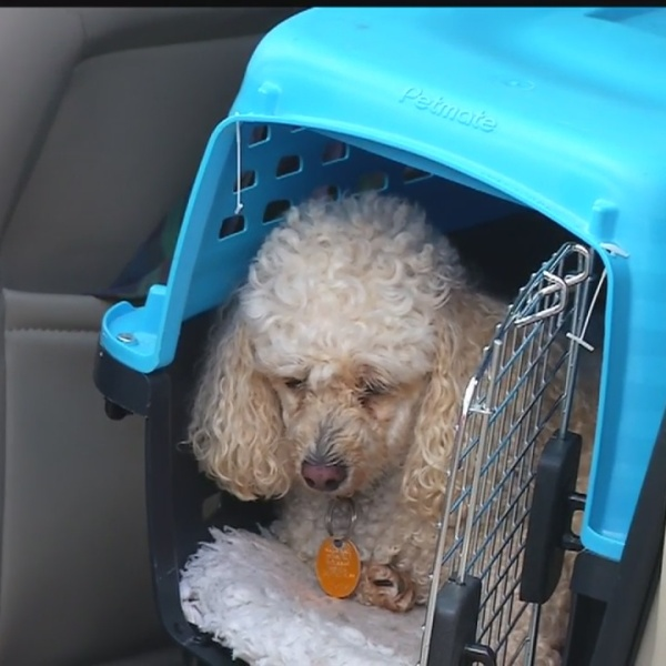 Couple_reunited_with_beloved_poodle__Ski_3_20180814031312