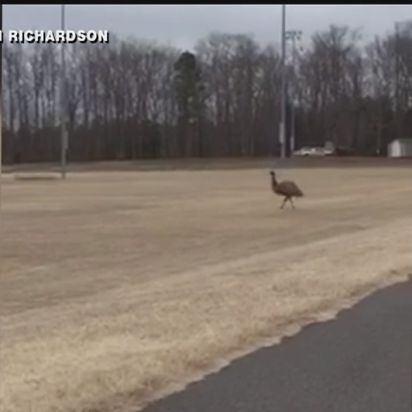 Elusive emu on the loose in Hanover County