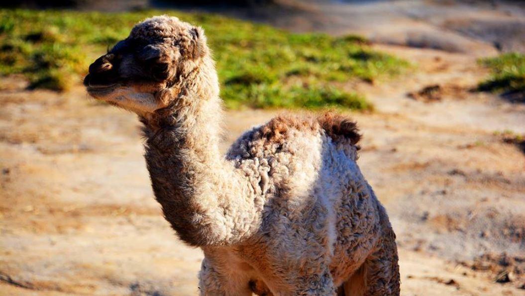 baby camel 3_1550518979075.JPG.jpg