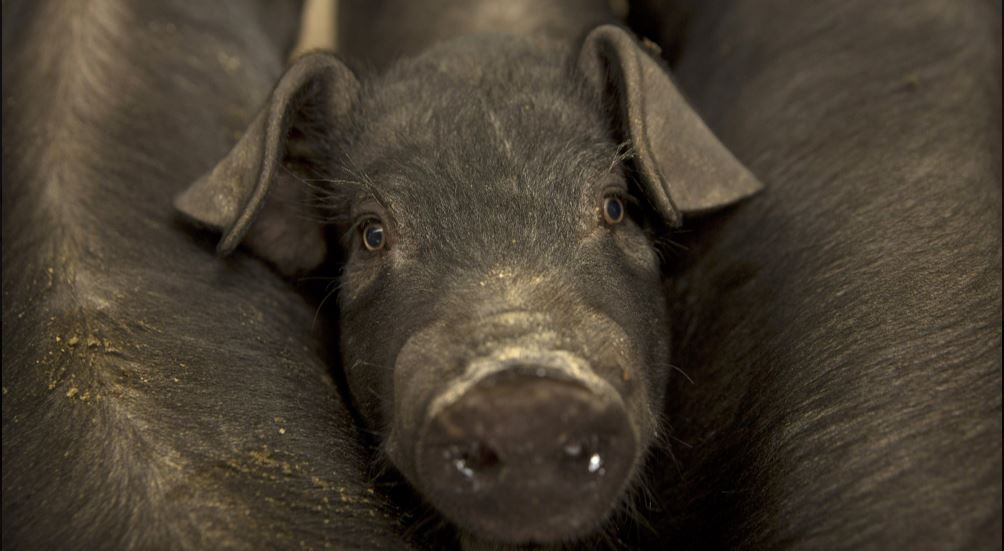 pig swine_1558373763674.JPG.jpg