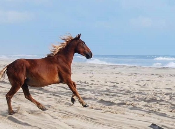 Destination Vacation: Corolla, NC wild horse tours