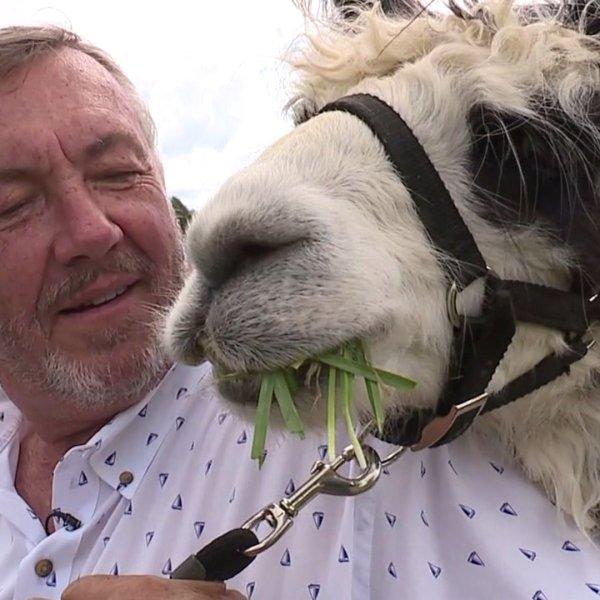 North Carolina vineyard pairs fine wine with massive herd of llamas