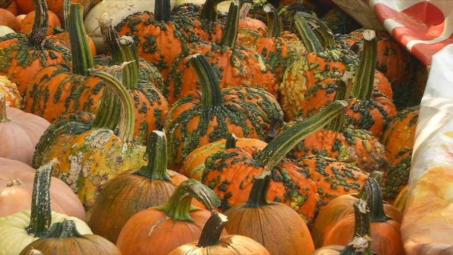 pumpkins with bumps in a pile pumpkin patch wow look at all these good pumps