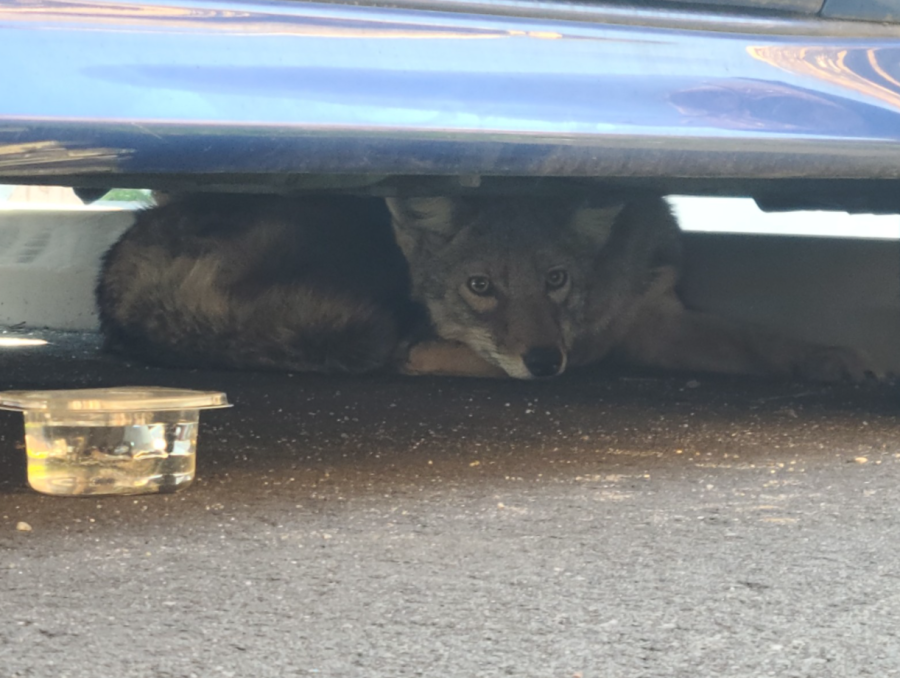 Scared coyote spotted under a car in Carytown. (Photo by Richmond Wildlife Center)