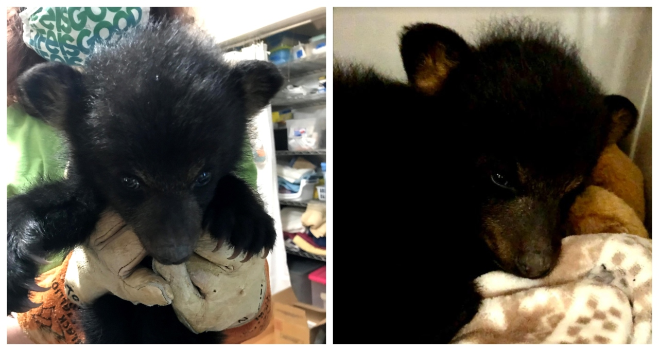 Wildlife center takes in first baby bear of the season