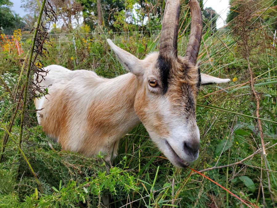 goat at the University of Richmond