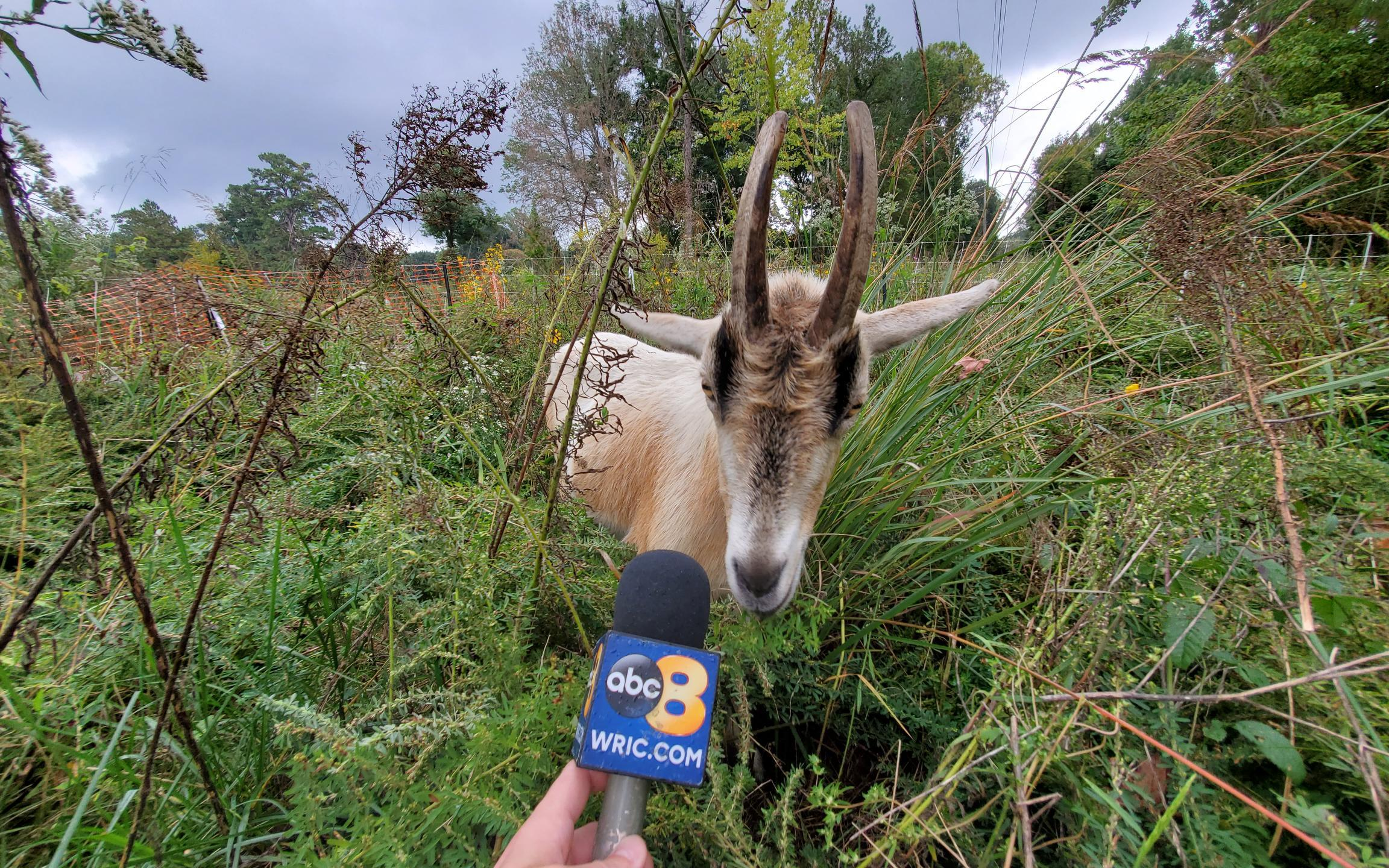 Goat at the University of Richmond getting an interview