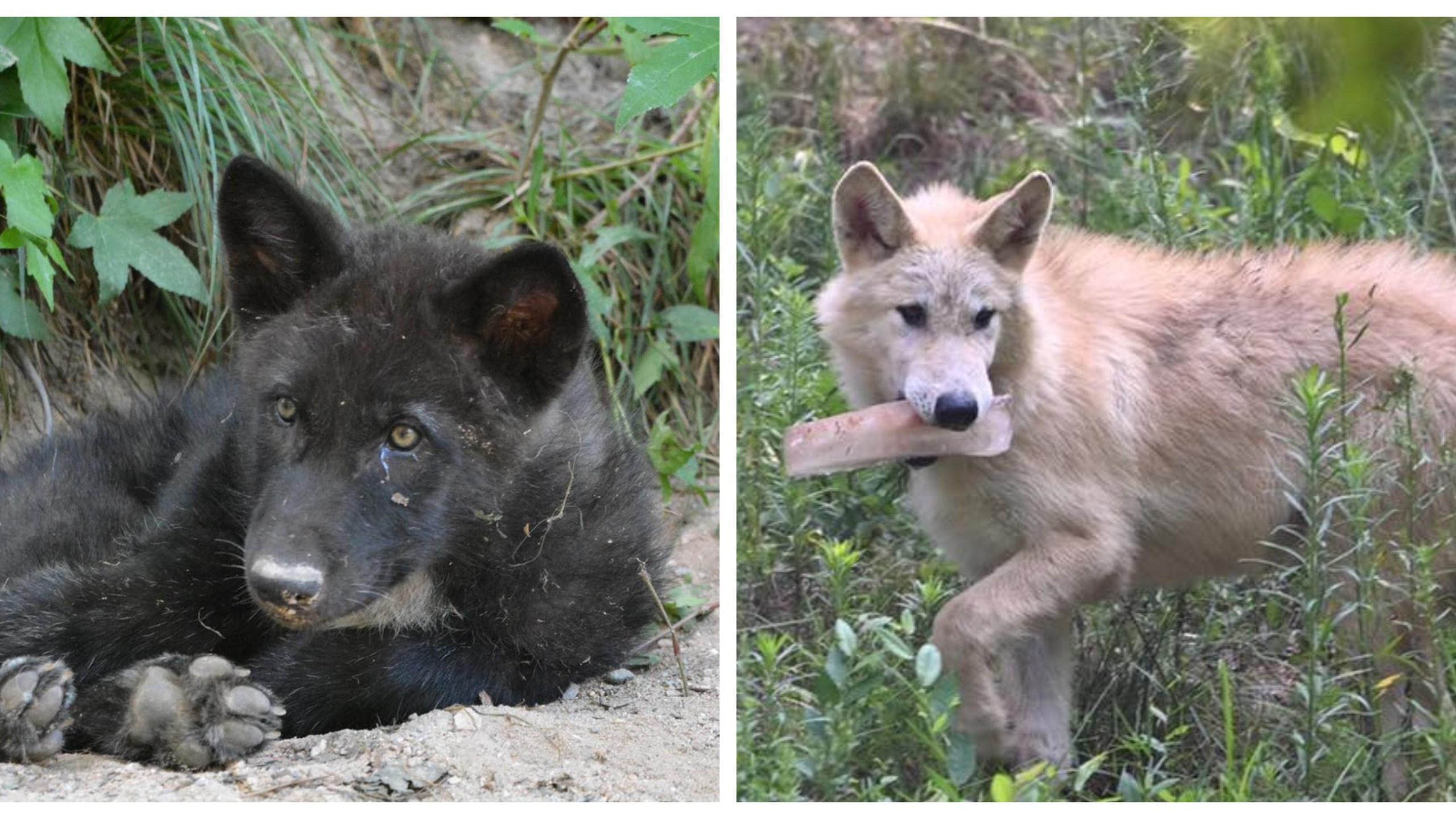Metro Richmond Zoo names wolf pups